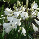 A white flowered variety selected for its hardiness and speed to flower.  Striking black anthers.