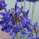 A well proven hardy, deciduous selection from Alan Bloom. Dark violet-blue flowers. (80cm) flowering deciduous.