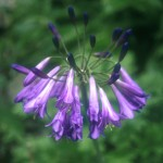 Agapanthus 'Purple Cloud'