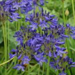 Dark violet-blue with darker midrib. Deciduous. (60cm)