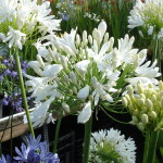 Large heads of exquisite, pure white, many petalled flower heads. Evergreen and flowers late in summer. (1m)