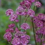 Astrantia Star of Beauty from Fairweathers Nursery