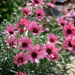 Rhodanthemum Pretty In Pink
