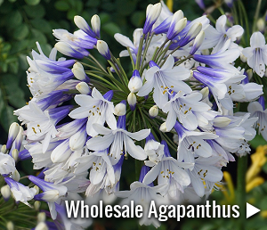 View our range of wholesale Agapanthus plants