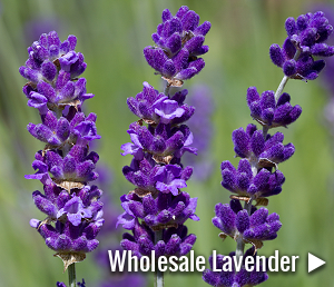 View our range of wholesale Lavender plants