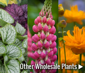View our other wholesale nursery plants