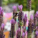 Lavender s. 'Lusi Purple'