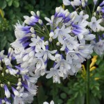 Agapanthus Twister from Fair weather's