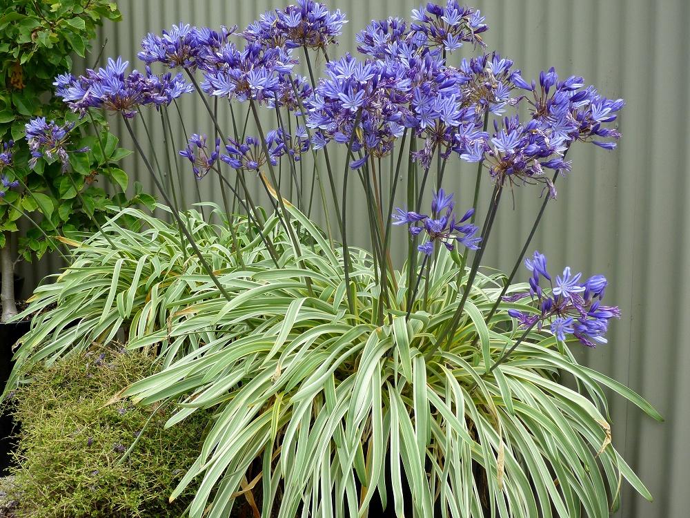 Wholesale Agapanthus Plants From Fairweather S Nursery