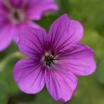 Geranium Hexham Velvet