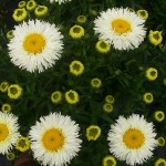 Leucanthemum Real Galaxy