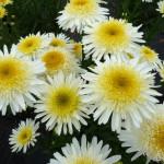 Leucanthemum Real Glory
