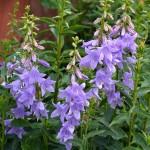 Adenophora Gaudi Violet