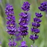 Lavender angustifolia 'Havana'