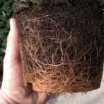 Healthy and vigorous Lavender root growth