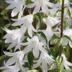 Adenophora White Blaze