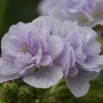 Geranium Cloud Nine