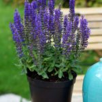 Salvia 'Blue Bouquetta'